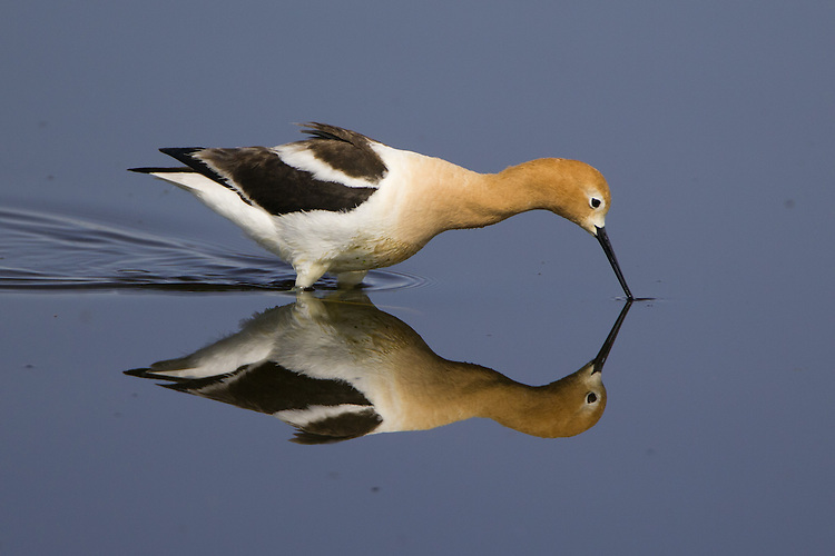 American Avocet wading in a pond