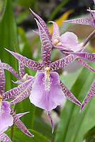 Orchid hybrid Miltassia Charles M Fitch 'Izumi' AM/AOS in bloom with lavender pink leopard markings and starry open presentation Taxonomists have changed the genus name of Miltassia to Bratonia.