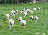 0512-0902  Herd of Sheep Running in Pasture, Dorset Ewes, Ovis aries  © David Kuhn/Dwight Kuhn Photography