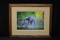 """Moose: The Shake"", hand-made walnut frame, conservation grade matting, TruVue Museum Glass. Contact us for availability."