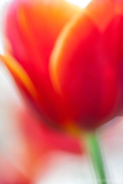 Dreamy photograph of red tulip