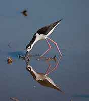 Black-necked Stilt walking in water with beak in the water and his full reflection visible