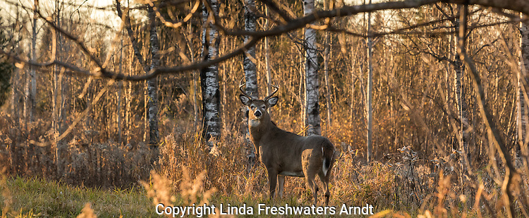 White-tailed buck during the rut