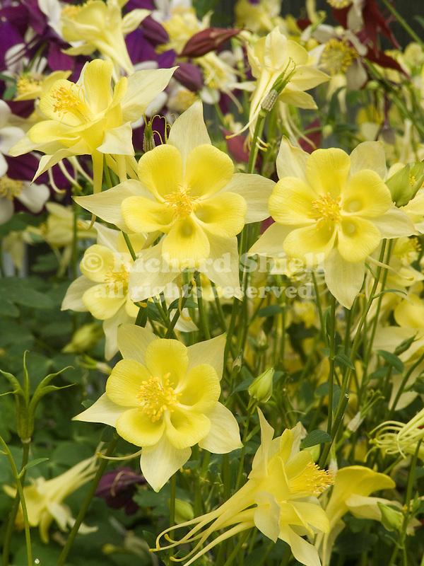 Columbine, Aquilegia Swan Yellow