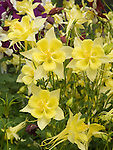 Columbine, Aquilegia Swan Yellow