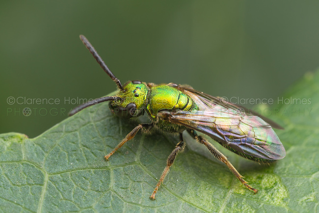 A bright metallic green Sweat Bee (Augochloro pura) stands at the edge of a leaf.