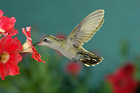 Broad-billed Hummingbird, Cynanthus latirostris, female in flight feeding on Petunia, Madera Canyon, Arizona, USA, May 2005
