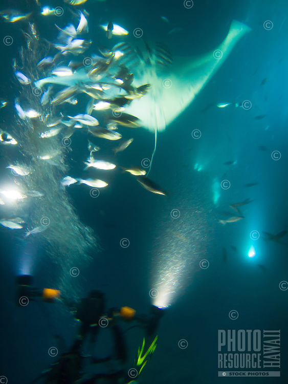 A manta ray shows its underbelly as it feeds on fish while a scuba diver catches the event on camera, Big Island.