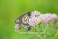 03536-05513 Monarch Butterflies (Danus plexippus) male and female mating on Swamp Milkweed (Asclepias incarnata), Marion Co.,  IL