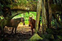 Two horses under banyon tree. Maui, Hawaii