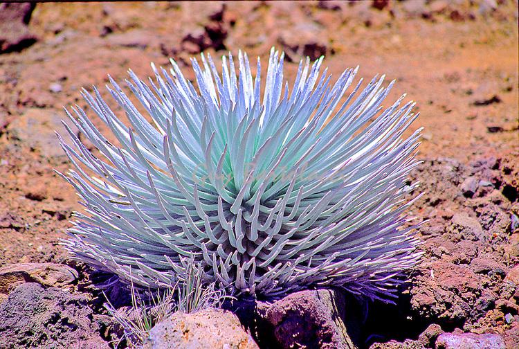 Maui Cactus