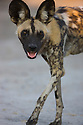 African wild dog (Lycaon pictus) walking, Botswana, Okavango Delta, Moremi Game Reserve