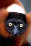 Red-ruffed lemur, Madagascar