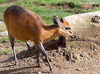 0601-1107  Red-flanked Duiker, Cephalophus rufilatus  © David Kuhn/Dwight Kuhn Photography