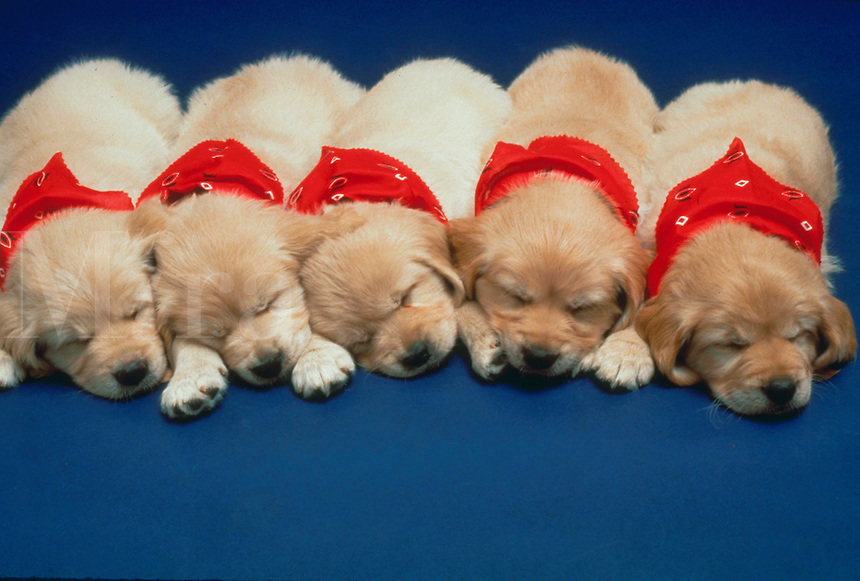 Five sleeping Golden Retriever puppies in bandanas.