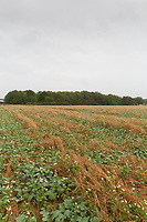 Elgar oilseed rape planted along with a companion crop of Buckwheat and Berseem clover<br /> ©Tim Scrivener Photographer 07850 303986<br />      ....Covering Agriculture In The UK....