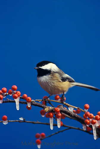 Black capped chickadee, Parus atricapillus, on a branch with frozen holly berries in winter, Missouri, USA