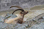 Steinbocke or Alpine Ibex in the Alps near the Matterhorn, Zermatt, Switzerland.