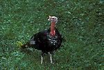 Wlid turkey tom gobbler feeding on clover<br />