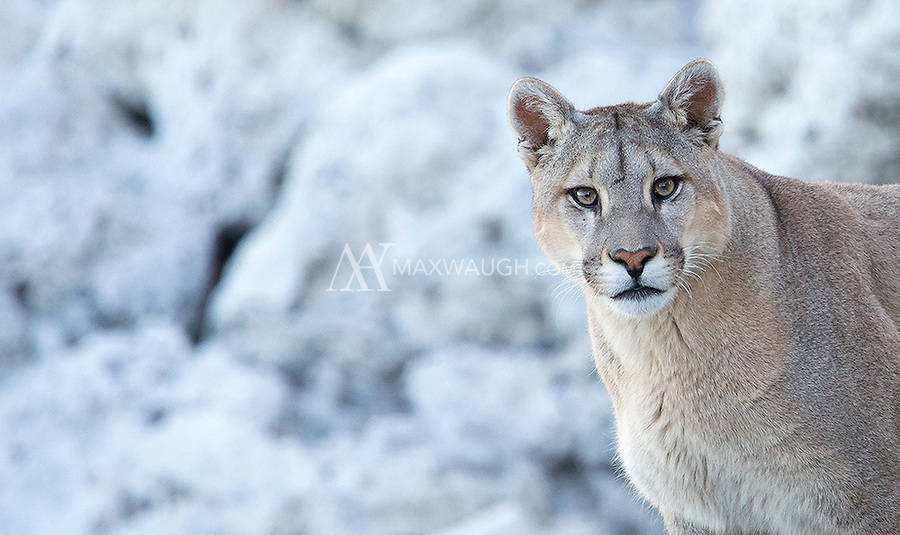 This juvenile puma already looked quite large and had outgrown his mother at a year-and-a-half.