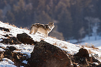 Wolf on the Rocks