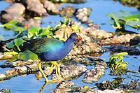 Beautiful purple colored bird photographed at Wakodahatchee Wetlands, Delray Beach, Florida.