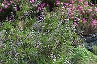 Salvia brandegei, Santa Rosa Island Sage California native plant flowering in Blake Garden