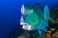 Green humphead parrotfish, Bolbometopon muricatum, Dropp off, Tulamben, Bali, Indo-Pacific, Indonesia