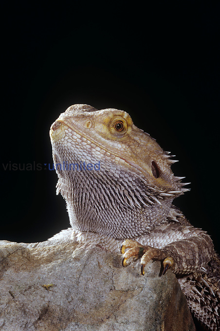 Eastern Bearded Dragon (Pogona barbata).