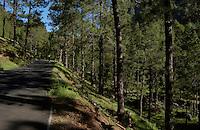 Walking in the forest, Cumbre Nueva, La Palma, Canary Islands.