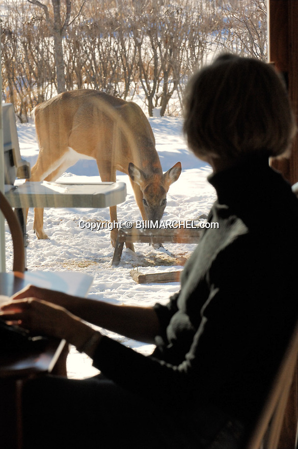 00274-320.06 White-tailed Deer Buck (DIGITAL) that has lost its antlers is feeding from feeder as woman in home watches. Suburban  V3F1