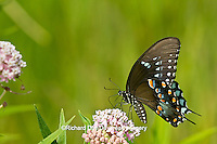 03029-01317 Spicebush Swallowtail butterfly (Papilio troilus) on Swamp Milkweed (Asclepias incarnata) Marion Co., IL