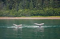 humpback whales, Megaptera novaeangliae, surfacing, Chatham Strait, Alaska, USA, Pacific Ocean