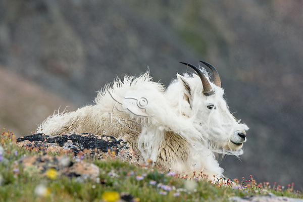 """Shedding Mountain Goat (Oreamnos americanus) on edge of alpine meadow in the Beartooth Mountains near the Wyoming/Montana border.  This goat is shedding its heavy winter coat of fur to a new """"summer weight"""" fur coat which will grow long again for the next winter.    Summer."""