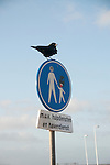 Crows in Scheveningen, The Netherlands