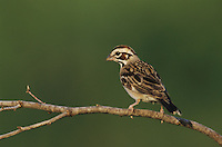 Lark Sparrow, Chondestes grammacus, adult, Willacy County, Rio Grande Valley, Texas, USA, June 2004