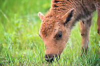 A bison calf feeds on fresh grass in Custer State Park in the Black Hills of South Dakota.
