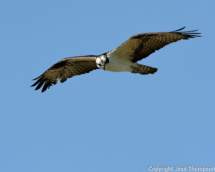Osprey in flight, Inks Lake Fish Hatchery, Texas