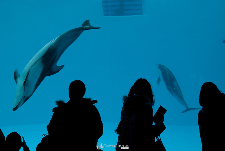A Pacific White-sided Dolphin (Lagenorhynchus obliquidens) at the Nagoya Acquarium.