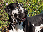 Harlequin Great Dane, San Luis Obispo, California