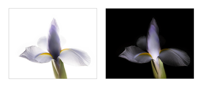 Iris, Backlit on Light Box, with and without the Lightness Channel in Photoshop inverted.<br />