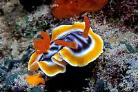 nudibranch or sea slug, Chromodoris magnifica, Sipadan Island, off Borneo, Malaysia (Celebes Sea)