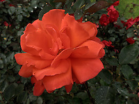 BOGOTÁ-COLOMBIA-15-01-2013. Rosa naraja, Dale. Rose orange, Dale.  (Photo:VizzorImage)