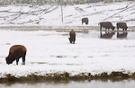 Bison in the Snow, Obsidian Creek, Yellowstone National Park, Wyoming