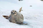 A startled Weddell Seal hauled out on the snow in Cierva Cove, Antarctica
