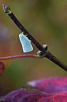 White Leafhopper - Typhlocyba pomaria