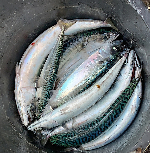 A good catch of Mackerel on Dublin Bay Photo: Afloat