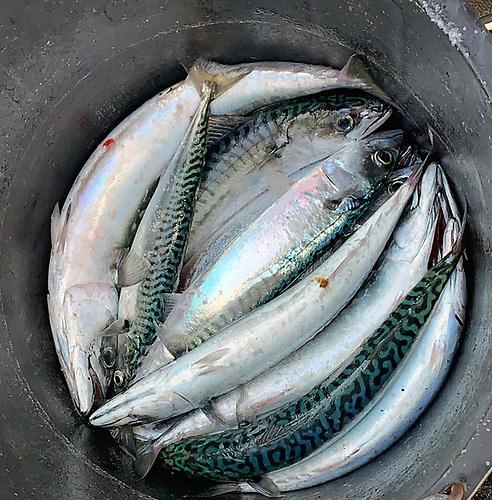 A good catch of Mackerel on Dublin Bay Photo: Afloat