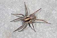 Waldwolfspinne, Wald-Wolfspinne, Waldwolfsspinne, Wald-Wolfsspinne, Xerolycosa nemoralis, Burnt wolf-spider, Wolfspinnen, Lycosidae