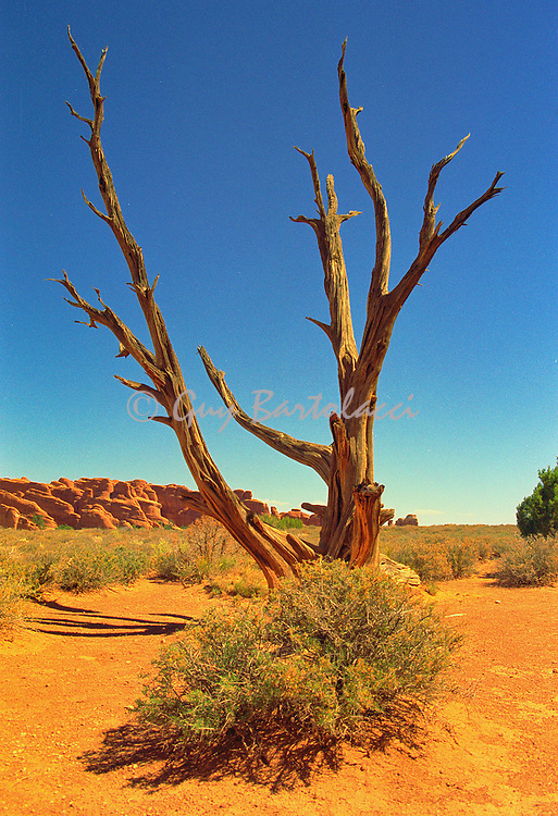 Dead Tree in Arches